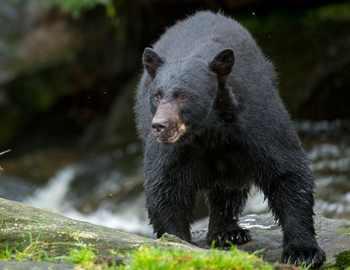 черный медведь на прогулке