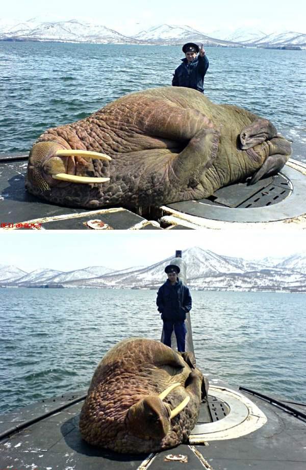 морж рядом с российским моряком