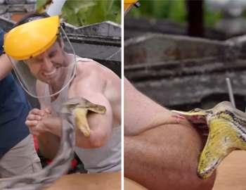 мужчину кусает сетчатый питон