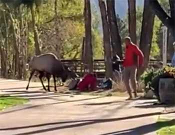 олень напал на женщину