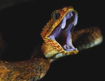 ядовитая змея открыла пасть