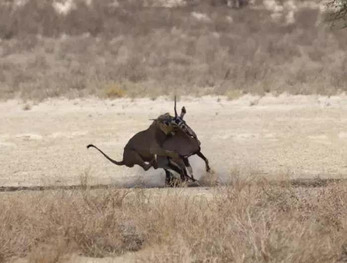 лев запрыгнул на орикса