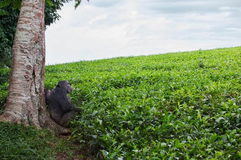 два самца шимпанзе смотрят на поле