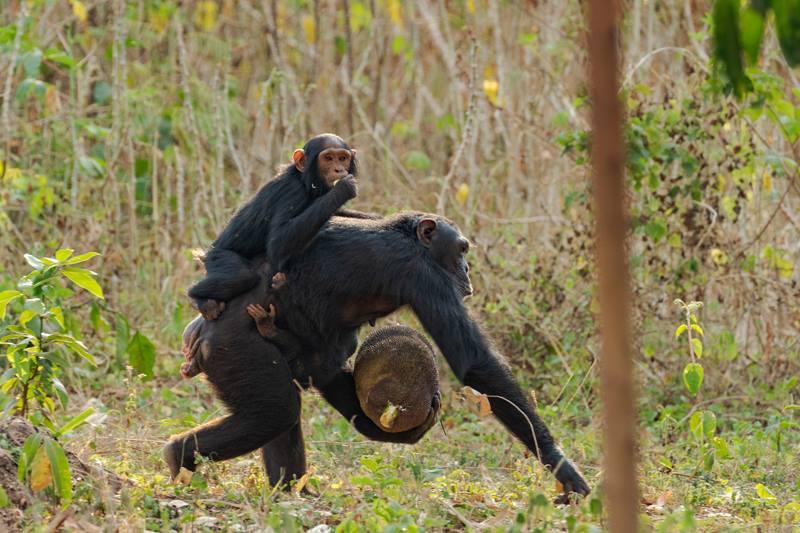 шимпанзе украла джекфрут