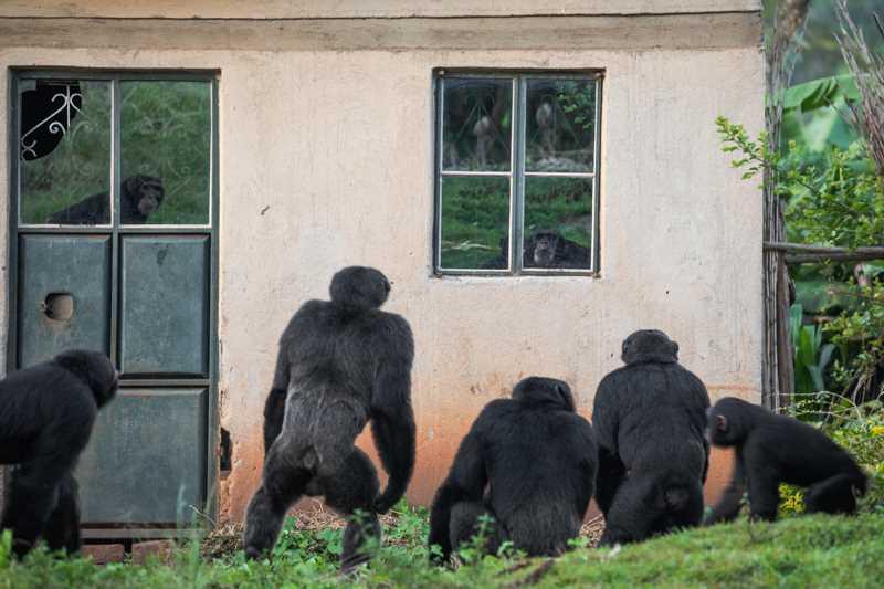 шимпанзе заглядывают в окна пустого дома