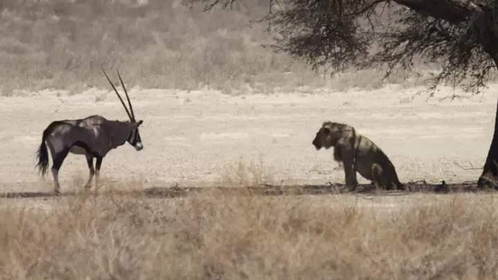 лев нападает на орикса