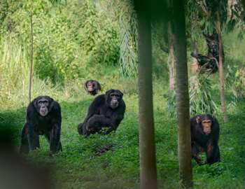шимпанзе смотрят на людей