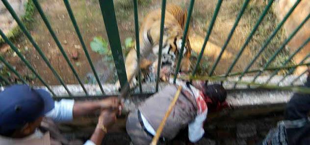 тигр схватил мужчину в зоопарке
