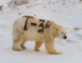 белый медведь Т-34