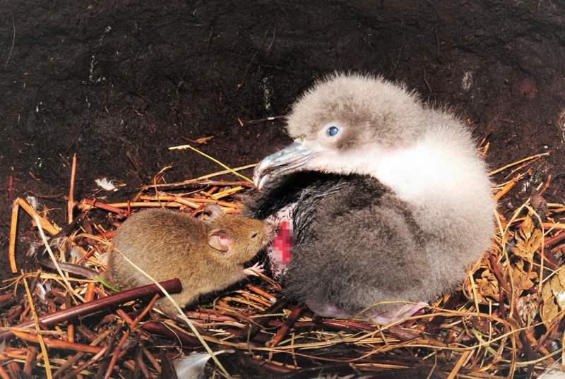 мышь напала на птенца
