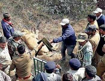 после нападения льва на человека