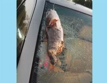 рыба упала на автомобиль