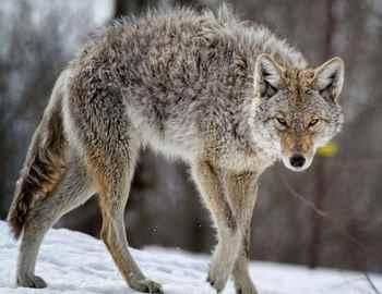 атаки койотов в Америке