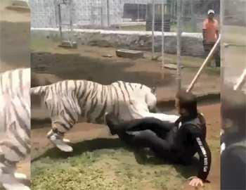 бенгальский тигр напал на мужчину
