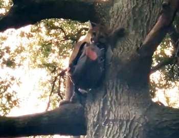 пума на дереве