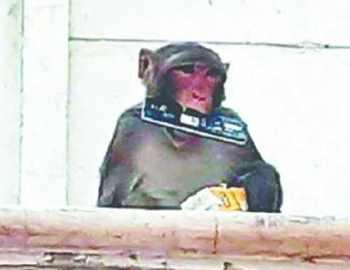 дикая обезьяна нападает