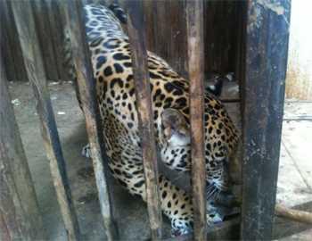 ягуар в клетке