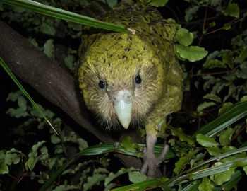 какапо или попугай