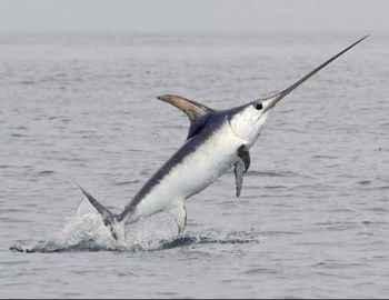 выпрыгивает меч-рыба