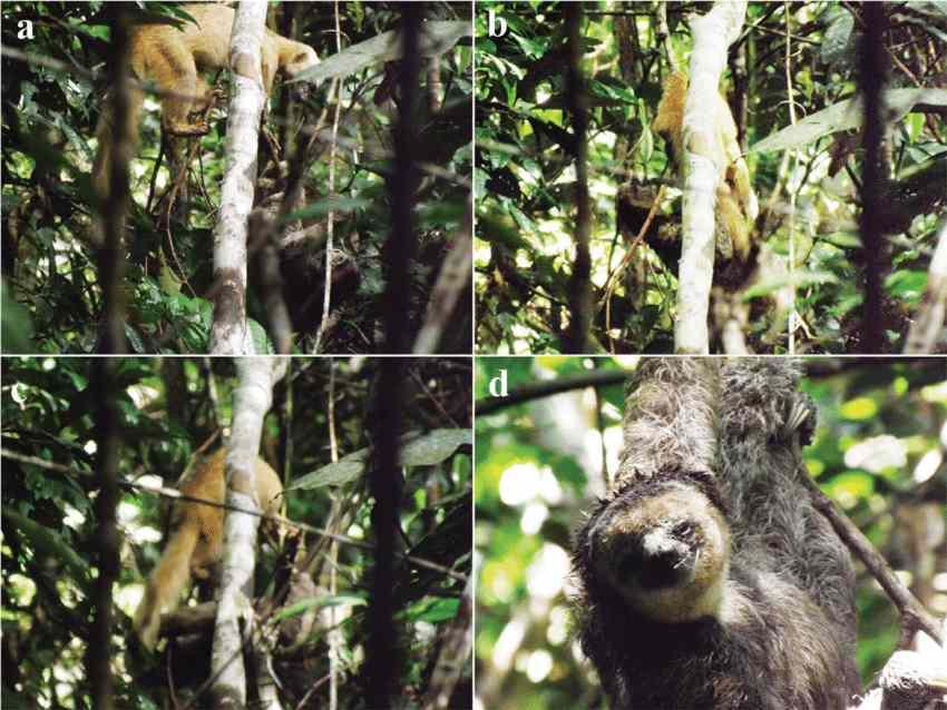 нападение тайры на ленивца