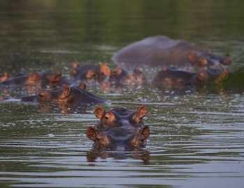 бегемоты в Колумбии