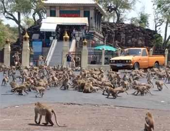 дерутся обезьяны в Таиланде