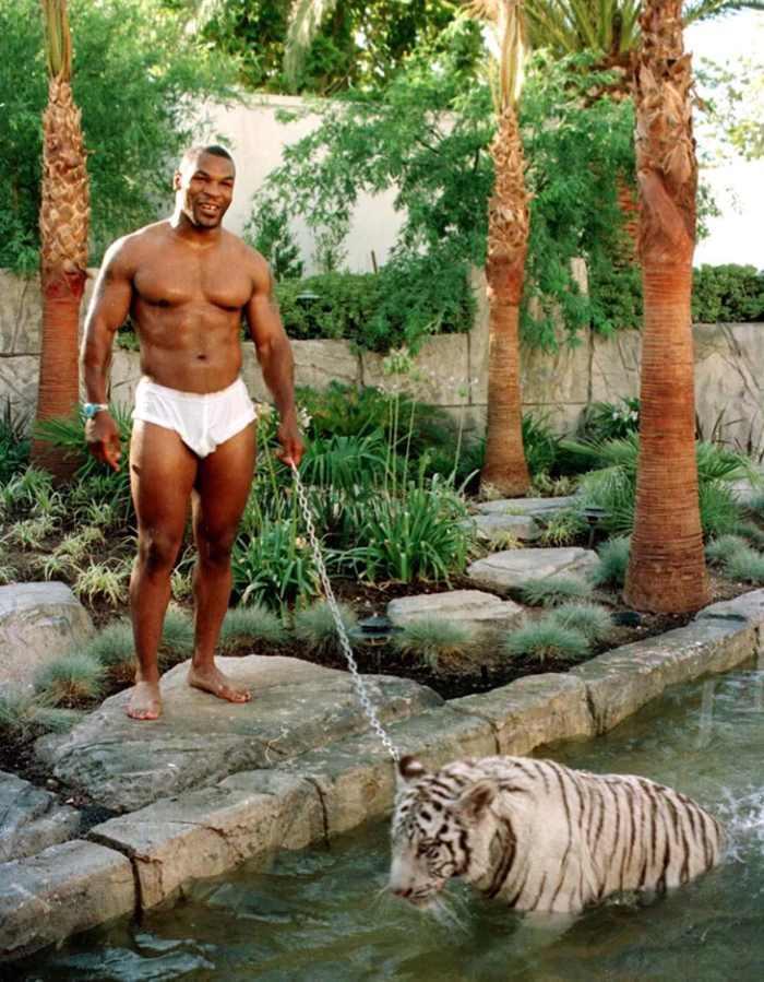 тигр Майка Тайсона купается в пруду