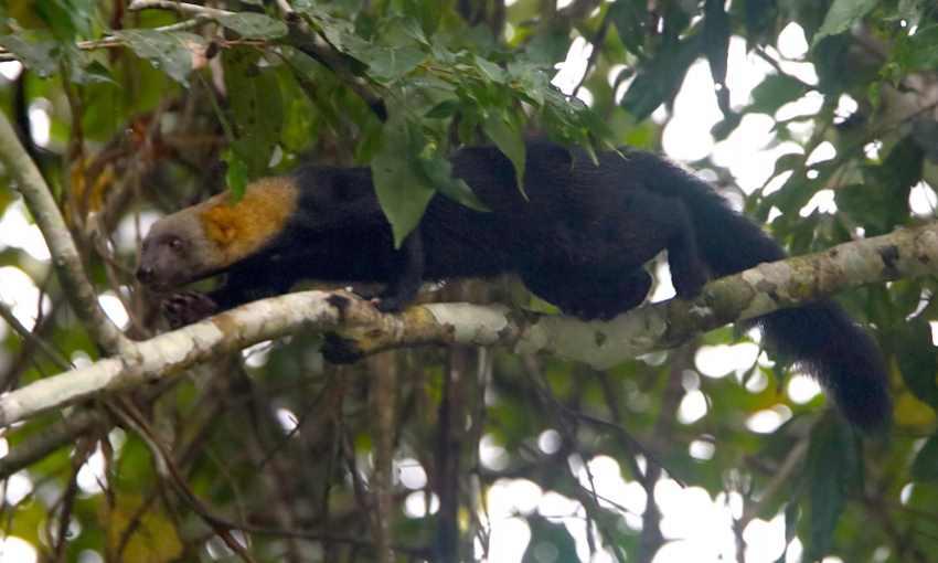 охота тайры на дереве