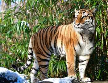 Бронксский зоопарк коронавирус тигр