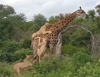 львы напали на жирафа