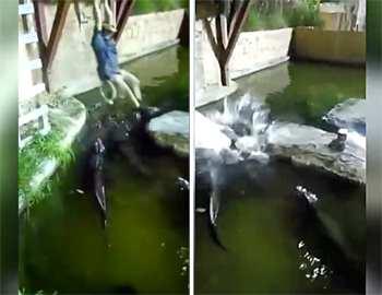 мужчина упал к аллигаторам