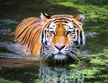 тигрв в воде