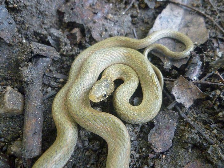 японская змея