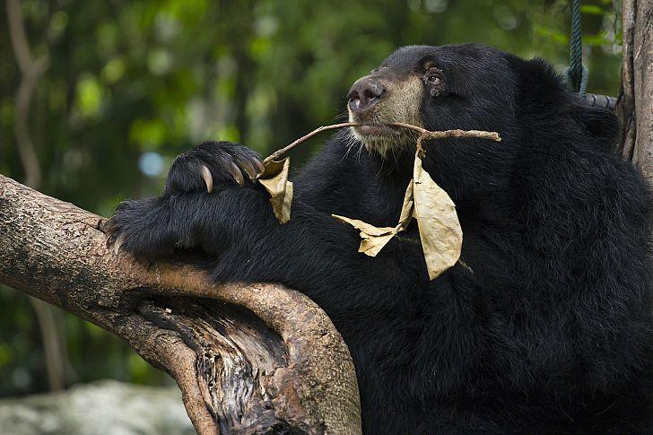 чёрный уссурийский медведь
