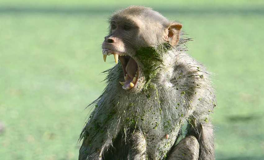 обезьяна открыла рот
