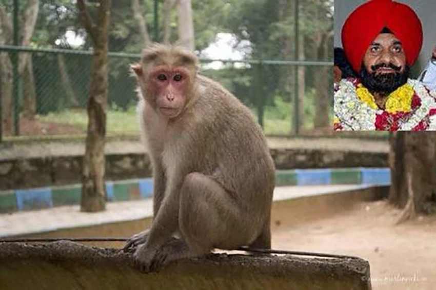обезьяна убила заместителя мэра