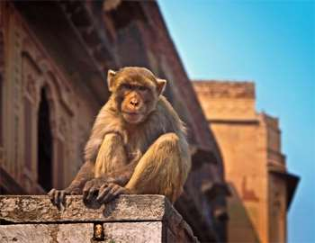 нападения обезьян