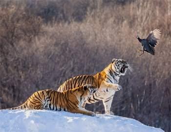 тигры и птица