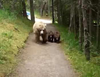 медведи на тропе