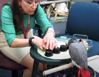попугай играет в наперстки