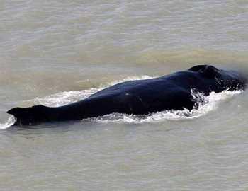 горбатый кит в реке