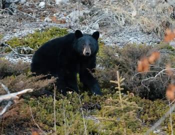 медведь убил женщину