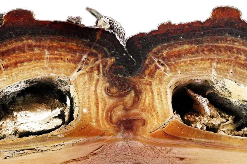жук в разрезе