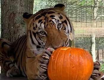 тигр Кимба