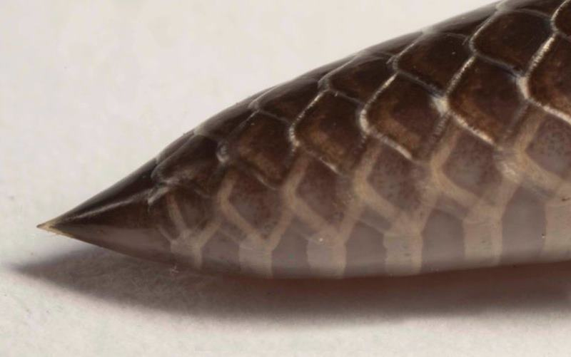 хвост у шпильковой змеи
