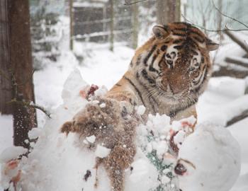 тигр напал на снеговика