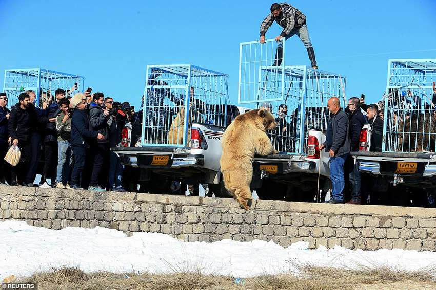 медведей готовят к выпуску на волю