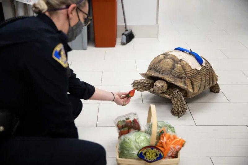 поличейский подкармливает черепаху