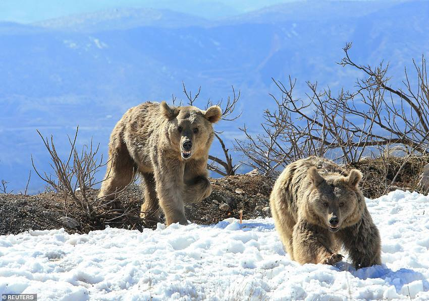 выпуск сирийских бурых медведей в Ираке