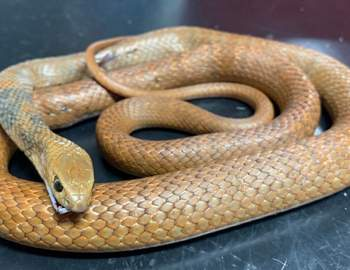 Восточная коричневая змея